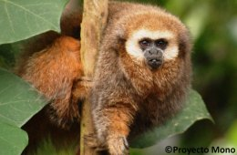 New technology boosts hopes for endangered titi monkey