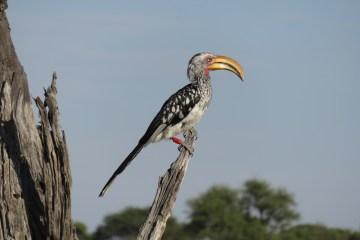 Big beaks may make for cooler birds