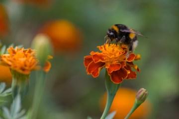 urban bumblebees