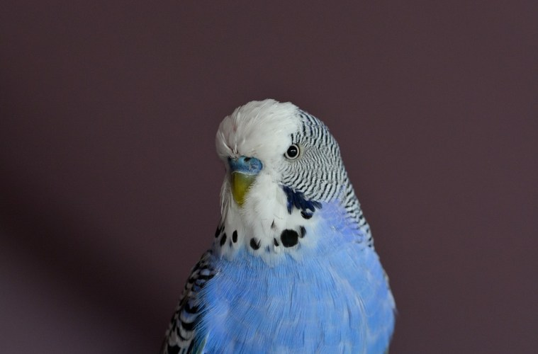 budgie, flight, speed, budgie flight