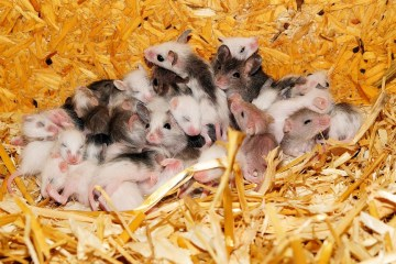 Mice cooperate in communal nests