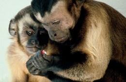 Monkeys tool use