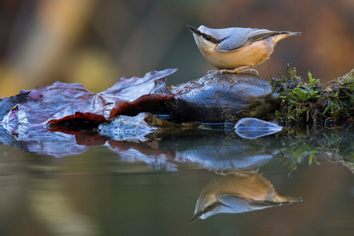 Bird Photographer of the Year Awards 2015 Caption: Nuthatch Category: Garden Birds Photographer: Alex Meek Taken on: 1/11/2015 Email: smeek69@hotmail.com Address: 70 Pinewood Drive, Scarborough, YO12 5JP, United Kingdom Description: A Nuthatch feeds by a pool creating a perfect reflection Date: 2015-11-01 Location: Scarborough I give my permission for this photograph to be added to the bto archive: true I confirm that this is not a captive bird: true