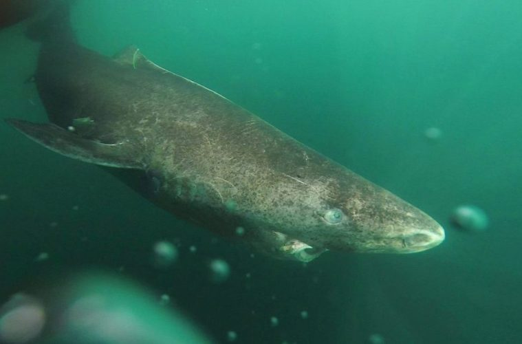 The enigmatic Greenland shark has puzzled scientists for years. New research, has revealed something truly amazing about the shark's lifespan