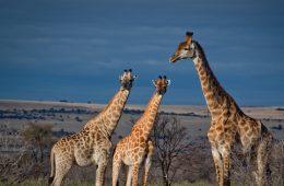 Southern giraffes CC BY-SA 3.0 CBasu