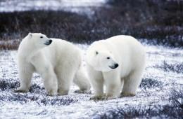 Polar Bear (Thalarctos maritimus)  by GaryKramer.net, 530-934-3873, gkramer@cwo.com
