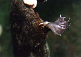 The bone spur of a male platypus is located on the hind limbs, and secretes their venom