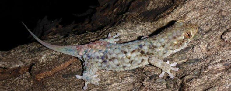 Gecko4