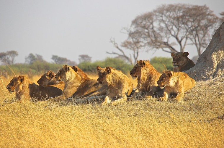 lions-1132745_960_720