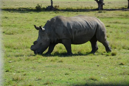 A de-horned white rhino in South Africa's Wilderness National Park. Even de-horned rhinos are often killed by poachers.