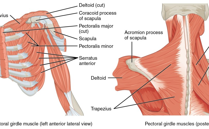 Showing the lay up of the shoulder joint
