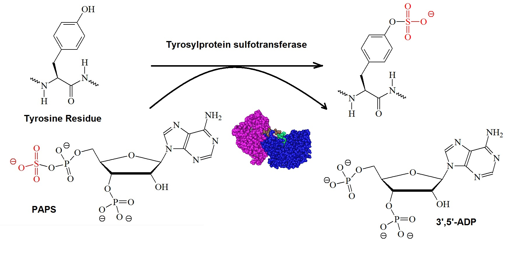 What Is Protein Tyrosine O Sulfation