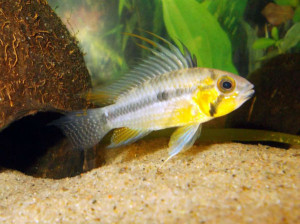 One of Leif's Apistogramma Cacatuoides