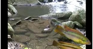 Ghana Cichlid