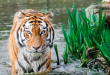 Tiger in water near plants