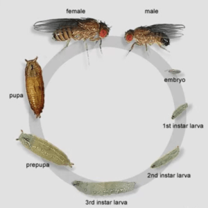 Fruit Fly Culture Development