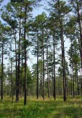 longleaf-pines-chuck_BergeronUGA