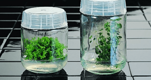 Magenta B caps on baby food jars work very well for plant tissue culture.