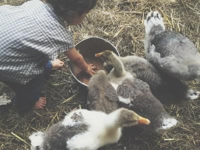 Kind auf einem Selbstversorger Hof mit Gänsen