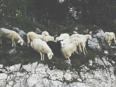 Schafe in den Alpen zu Selbstversorgung