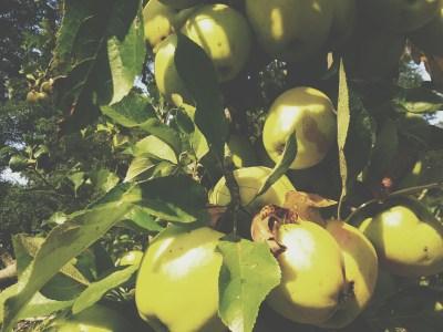 Äpfel an einen alten Obstbaum