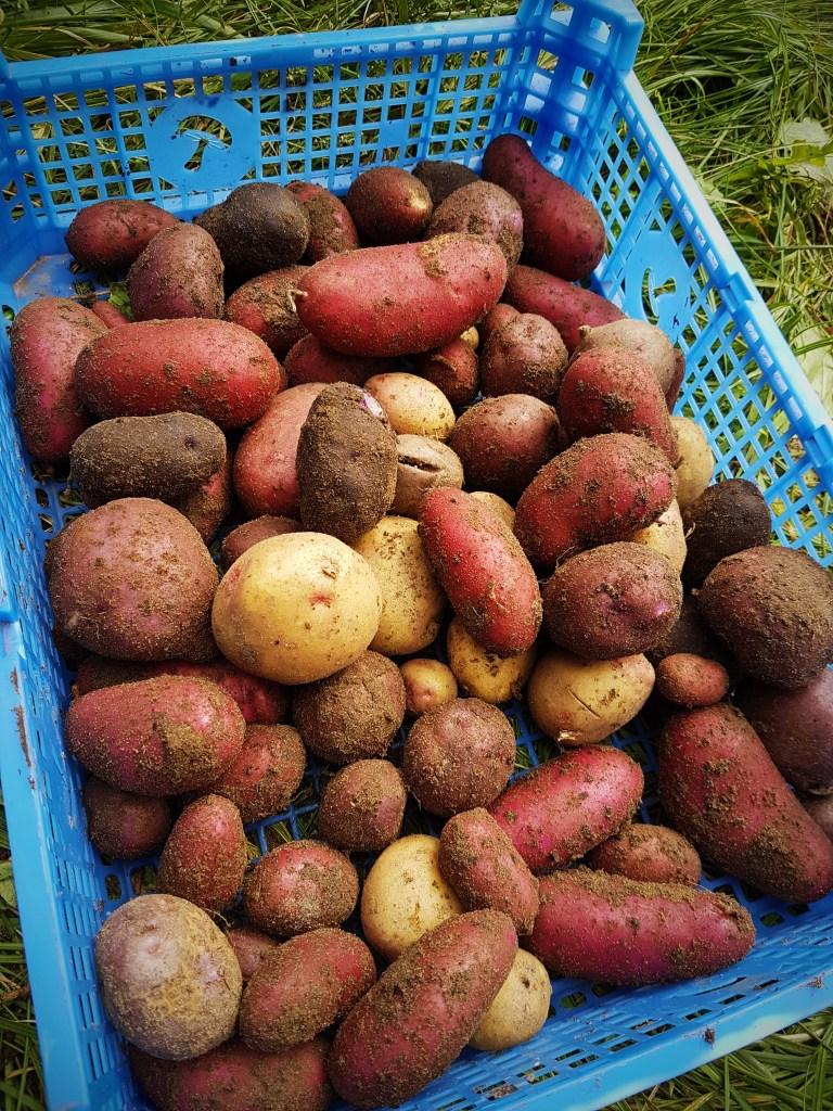 Kartoffeln vom Permakultur Beet geerntet