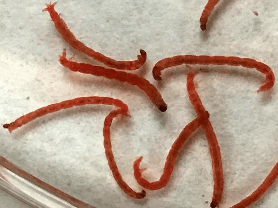 Larvas de cuarto estadio de C. riparius empleadas en la valoración de los efectos tóxicos del BPS | Grupo de Biología y Toxicología Ambiental UNED