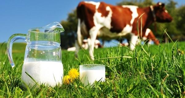 Dairy milk cow