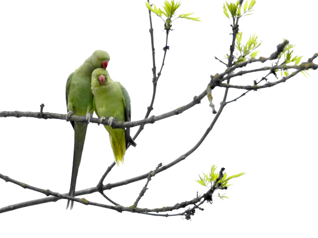 Parrots flocked to Amsterdam
