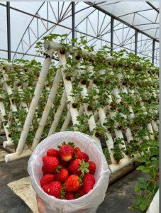 Ricardoes Strawberries, NSW