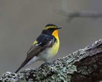 キビタキ調査 | バードリサーチ / Bird Research