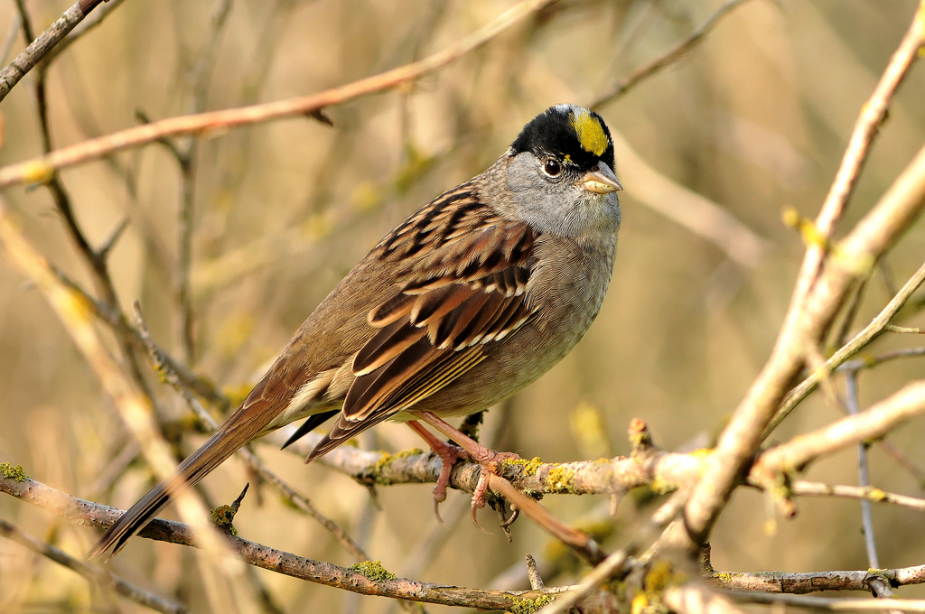 Goldencrowned sparrow  song  call  voice  sound