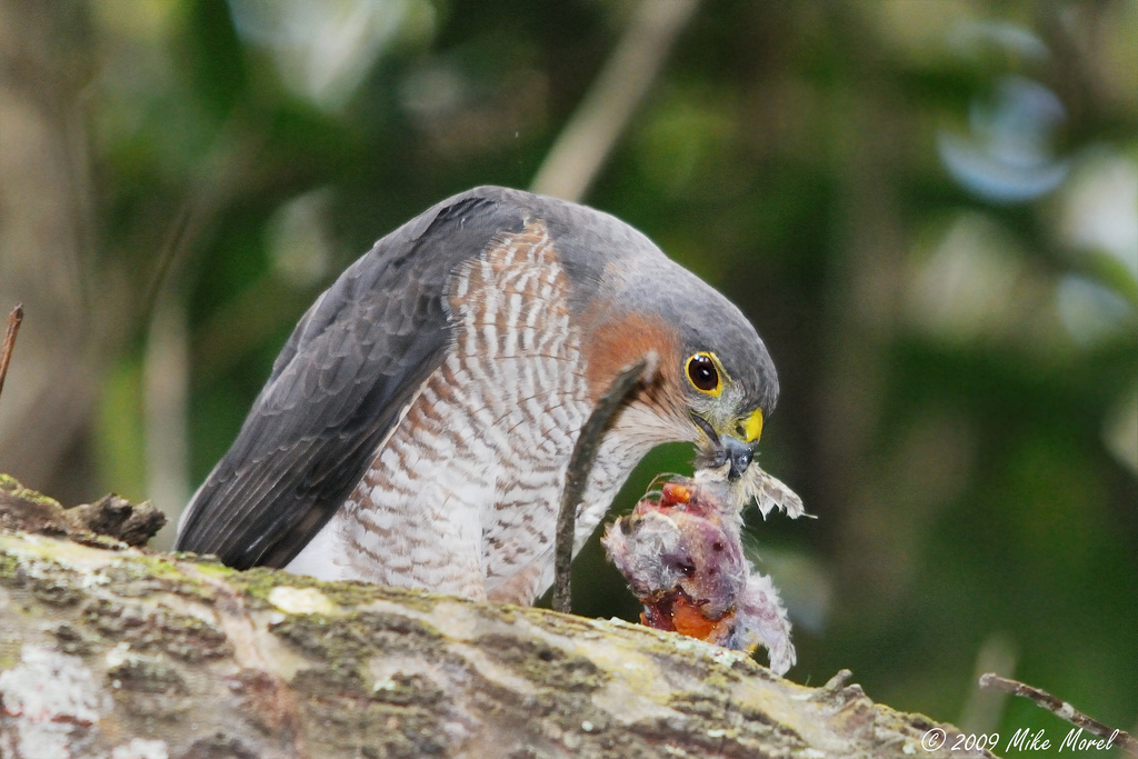 Sharpshinned hawk  song  call  voice  sound