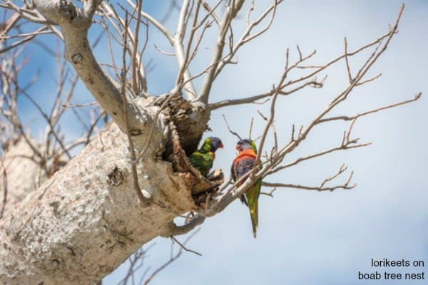 lorikeets on boab tree nest