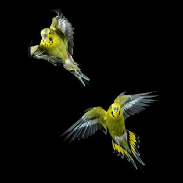 2 green budgies in flight against black background
