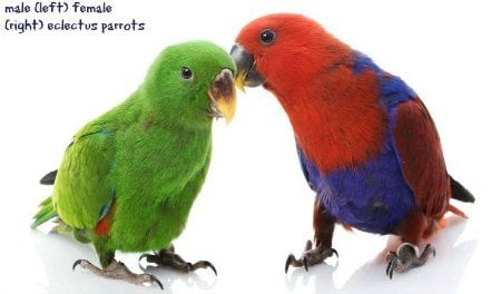 male and female ecletus parrots on white background