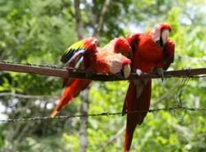 Does the plethora of parrot perches produce puzzlement? Learn perches & placement now!