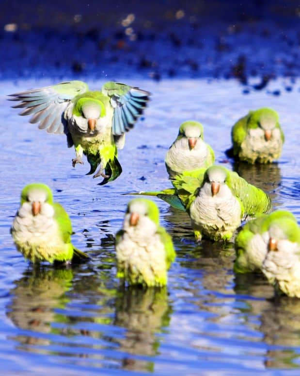 wild quaker parrots bathing in a pond