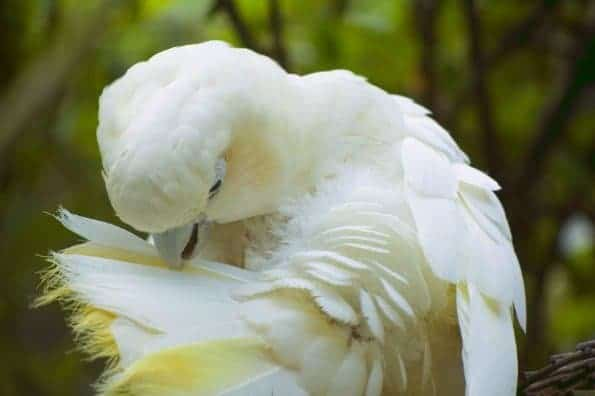 so do u know any cockatoo rescues??