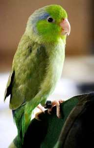 Parrotlets Are Big Birds In Small Bird Bodies
