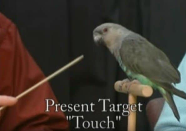 Learned Helplessness: A Big Parrot Taming and Training Mistake You Don't Want to Make