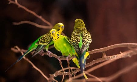 3 budgies on tree branches
