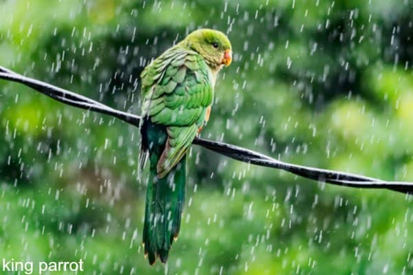 king parrot on wires outside in the rain