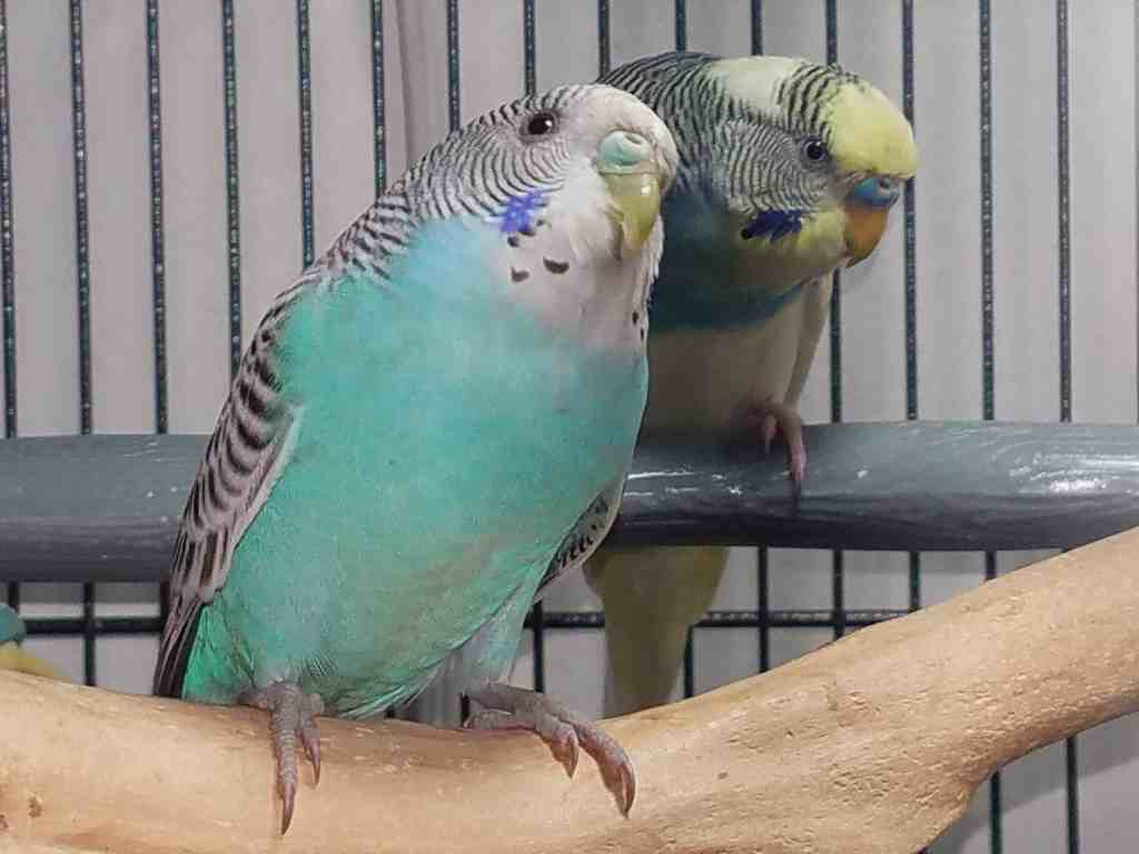 2 budgies on perches