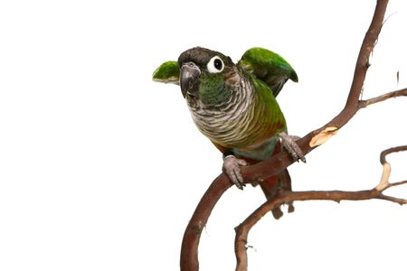 Green Cheek Conure On Branch Ready to Fly Away (conure)
