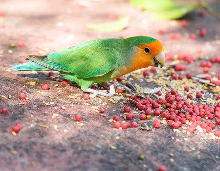 Beautiful bird, Lovebird eating fruit on ground