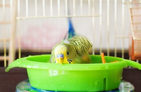 How to bathe your bird?