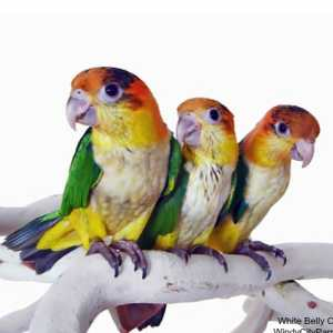 3 white bellied caique parrot on branch white background