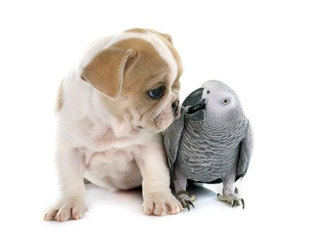 parrot and puppy in front of white background