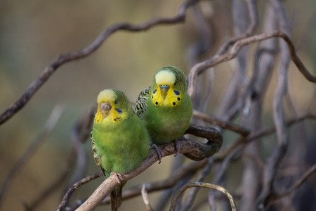 Two budgies sitting on a branch and playing together
